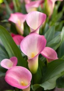 pink calla lily, Zantedeschia rehmannii, flowering house plants