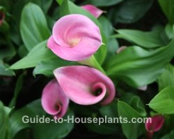 types of lilies, pink calla lily