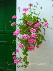 geranium hanging basket, ivy leaf geranium, climbing geraniums