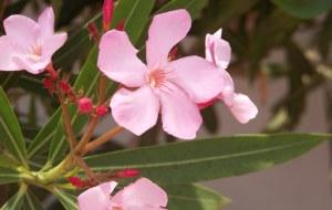 oleander plant, oleander plants, oleander care, oleander bush