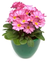 primrose flowers, primrose plant, flowering house plant, growing primrose indoors