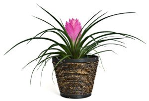 pink quill, tillandsia cyanea, bromeliad care