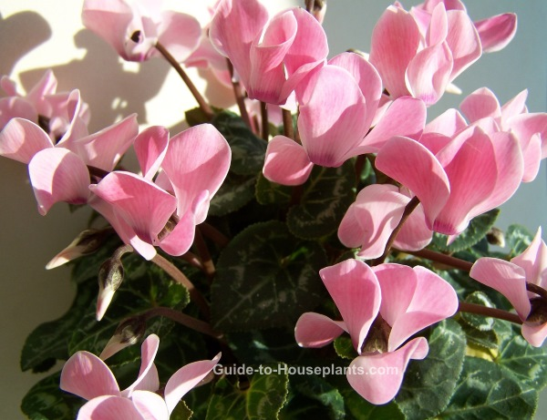 cyclamen plant, cyclamen house plant, growing cyclamen, cyclamen indoors