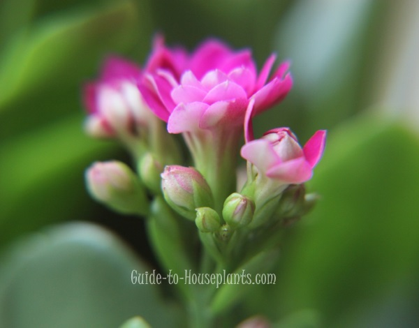 kalanchoe flower, kalanchoe care, kalanchoe blossfeldiana, kalanchoe plant, flaming katy, succulent houseplant
