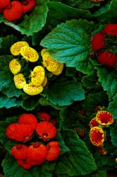 pocketbook plants, calceolaria