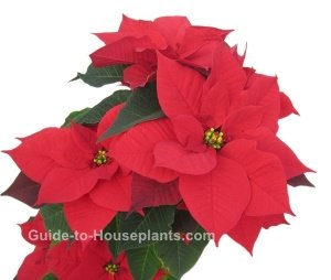 poinsettia, christmas plant, holiday plant