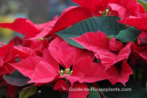 poinsettia care, poinsettia plant care