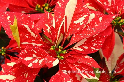 poinsettia care, growing poinsettia, how to grow poinsettia