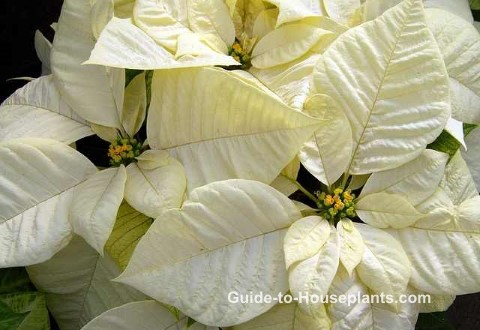 poinsettia care, white poinsettia, poinsettia plant
