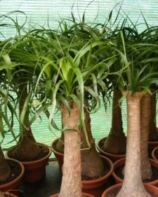 ... Flowering Ponytail Plants: Does Ponytail Palm Flower ...