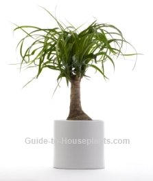 exotic house plants, ponytail palm