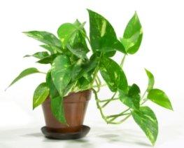 golden pothos, pothos, devils ivy, office plant