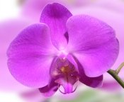 phalaenopsis orchid care, orchid care tips, orchid care instructions