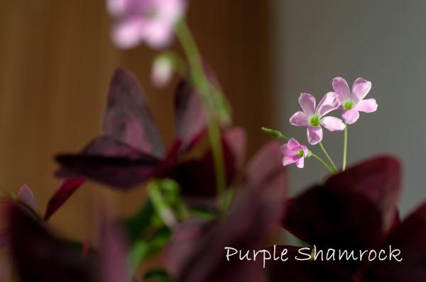 purple shamrock, oxalis regnelli