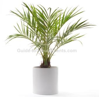 pygmy date palm, phoenix roebelinii, palm house plants,dwarf date palm