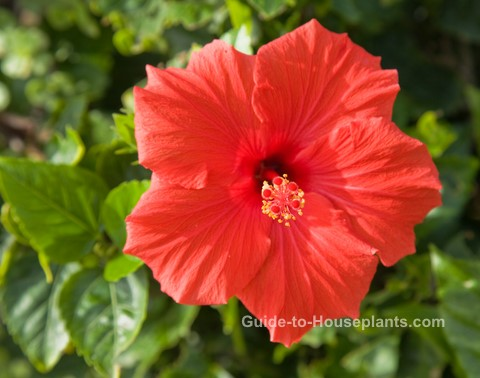 growing hibiscus, growing hibiscus indoors, hibiscus flower, caring for hibiscus plants