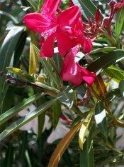oleander plant, red oleander, oleander shrub, oleander tree, poisonous plant