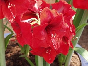 amaryllis bulbs, amaryllis flower