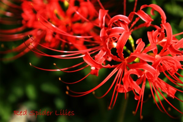 red spider lily, lycoris radiata
