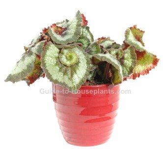 rex begonia, begonia rex, begonia house plants, fancy-leafed begonia
