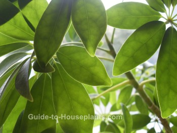 schefflera, tropical house plant, common house plant