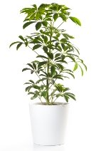 schefflera, umbrella tree, common house plants