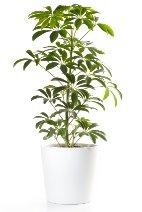 schefflera actinophylla, umbrella tree, schefflera plant