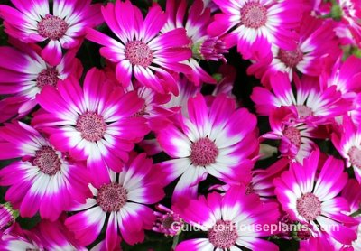 senecio cineraria, cineraria flower, cineraria
