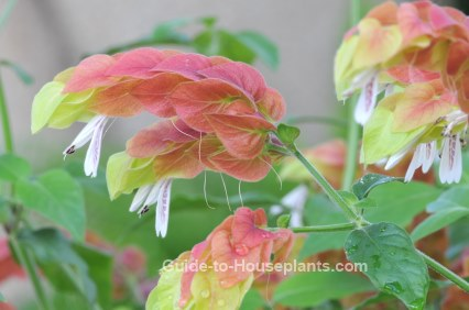 shrimp plant, justicia brandegeana, shrimp plant care