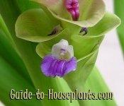 siam tulip, curcuma alismatifolia