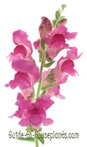 snapdragon, snapdragon flowers