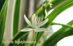 spider plant, spider plant care, how to grow spider plant