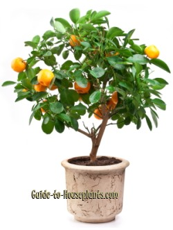 tangerine tree, citrus tree care