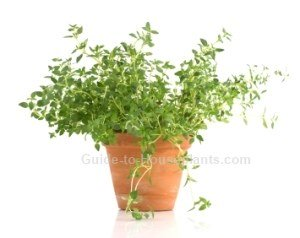 growing thyme, thyme herb, thyme plant