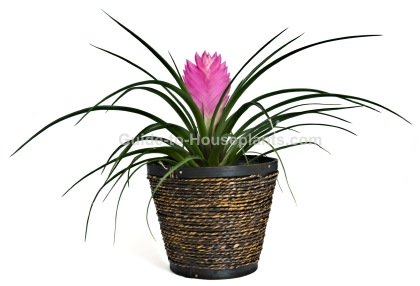 pink quill plant, tillandsia cyanea, bromeliad care, houseplants