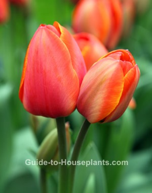 forcing tulip bulbs, how to plant tulip bulbs, growing tulips, how to force tulip
