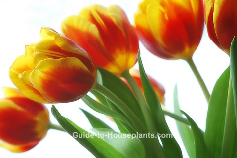 growing tulips, forcing tulips, how to force tulips, forcing tulip bulbs, how to plant tulip bulbs