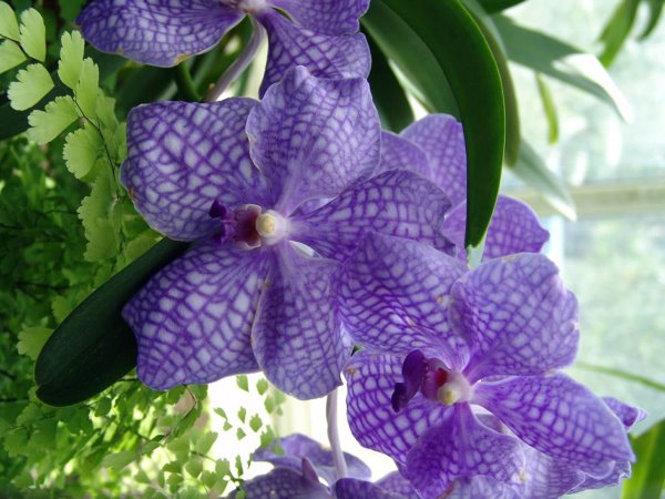 vanda orchid, growing vanda orchids, vanda orchid care