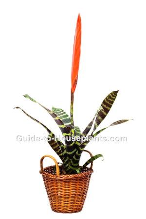 vriesea splendens, flaming sword plant, bromeliad