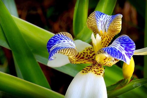 walking iris, neomarica