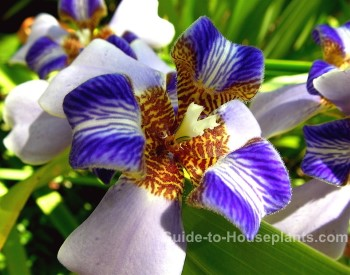 walking iris, rare tropical flower, tropical flowers