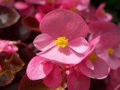 wax begonia, begonia flower