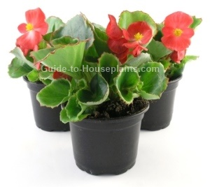 wax begonia, begonia care