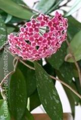 hoya, wax plant, perennial flowering vine, flowering houseplant
