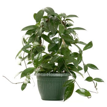 excellent long vine house plant. Growing Wax Plant Indoors  Hoya carnosa Pictures Care Tips