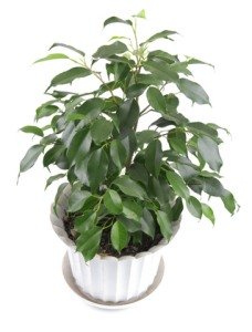 weeping fig ficus tree common house plants - Identifying Common House Plants