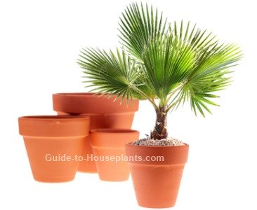 windmill palm tree, palm house plants, indoor palm plant, chusan palm