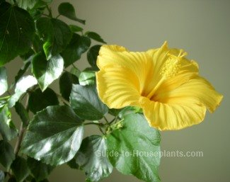 Exotic hawaiian flowers as house plants yellow hibiscus flower state flower of hawaii mightylinksfo