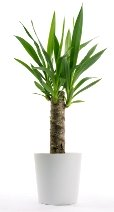 yucca plant, yucca elephantipes, large house plants, tall house plants, yucca tree