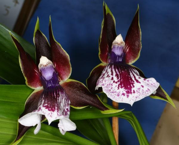 zygopetalum, zygopetalum orchid